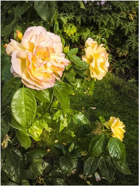 roses by derekp