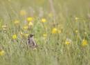 Skylark resting in grass on windy day by hibbz