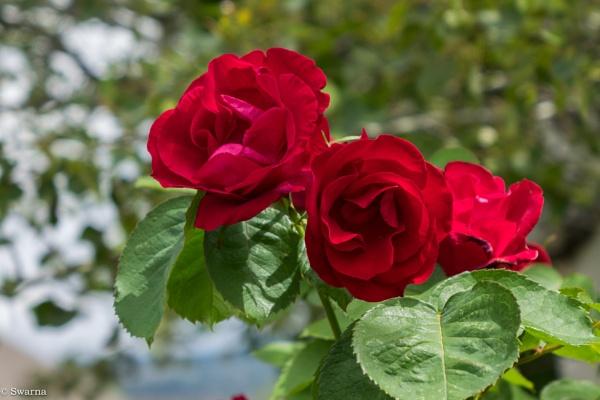 Roses by Swarnadip