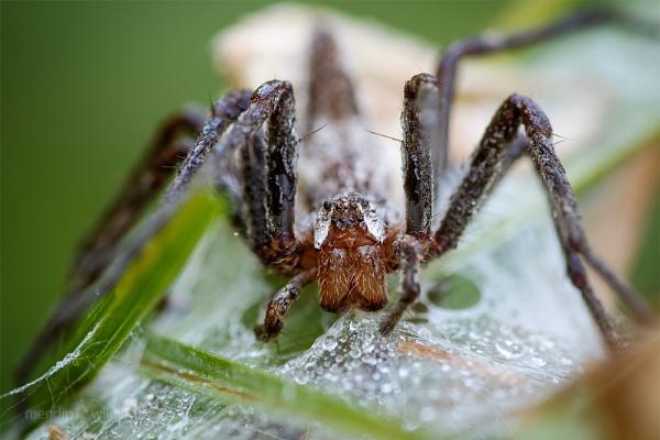 Nursery Web Spider - Pisaura mirabilis by Mendipman