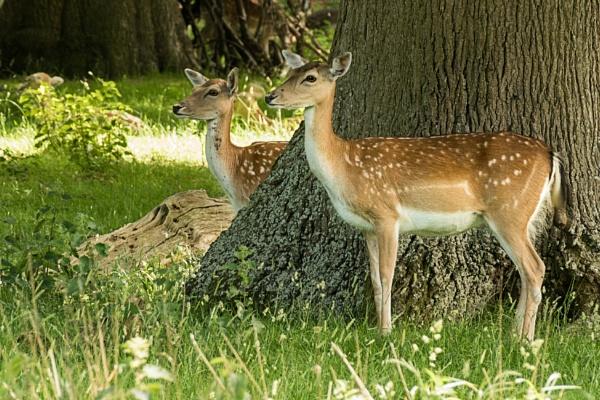 Fallow Deer by vivdy