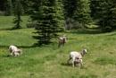 Bighorn Sheep by StrayCat