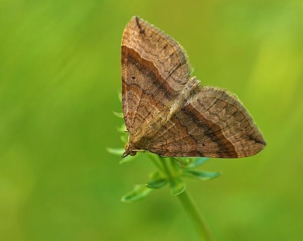 Shaded broad-bar moth by georgiepoolie