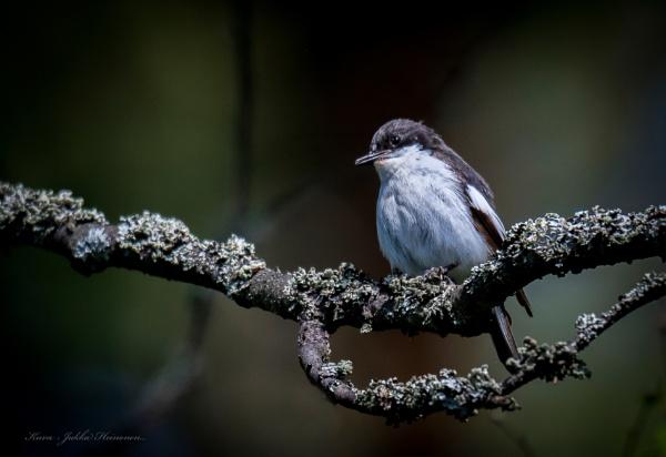 Flycatcher. by kuvailija