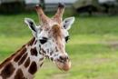 Giraffe by ginz04