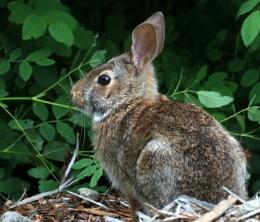 Rabbit  @  Royston  ships