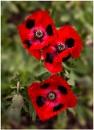 Lady Bird Poppy by capto