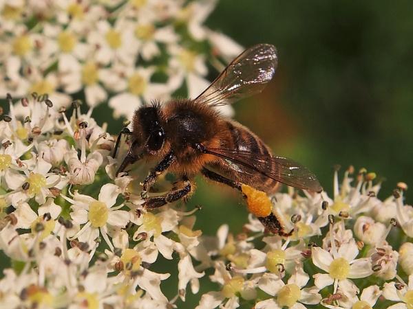 Cute Little Bee On Hogweed