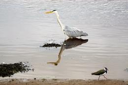 Grey Heron and Lapwing.