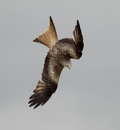 Red Kite (Wales)