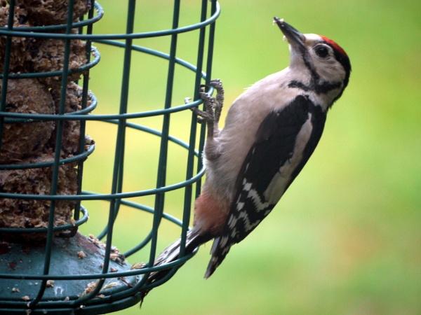 Juvenile great spotted woodpecker by DerekHollis