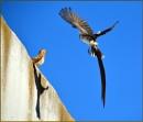 Pintail Whydah dancing by fotobee