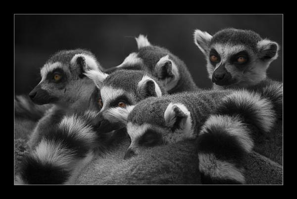 Lemurs by BobDraper