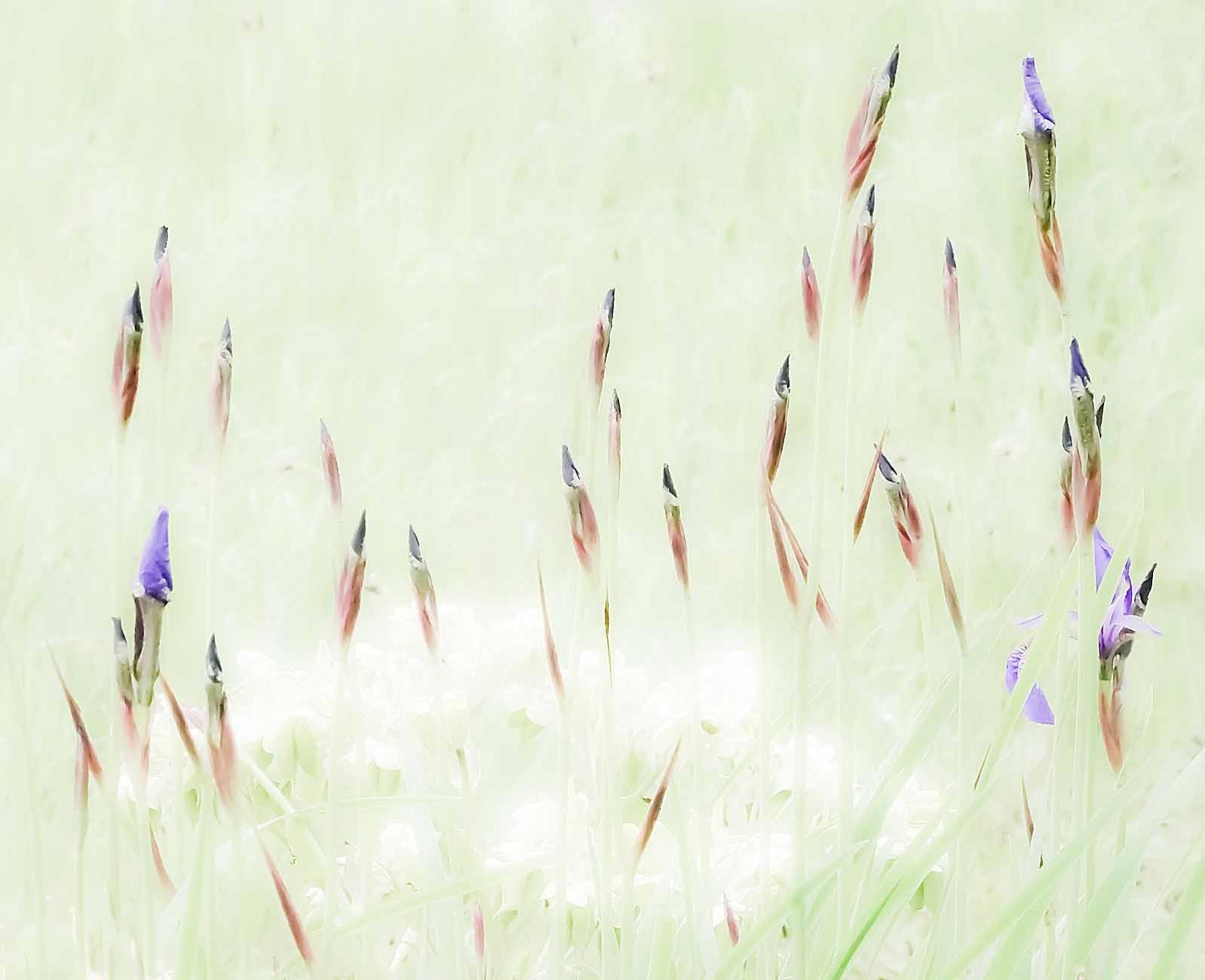 Nascent Irises