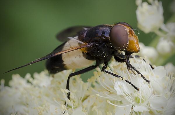 Pellucid Fly by lespaul