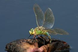 Emperor Dragonflies