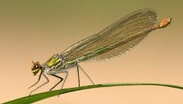 Banded Demoiselle (F) Calopteryx splendens