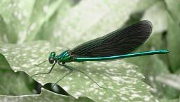 Beautiful Demoiselle (M) Calopteryx virgo