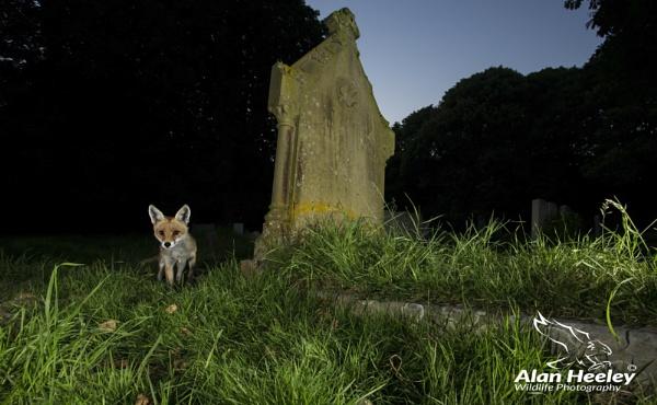 Churchyard Fox by AH1shot