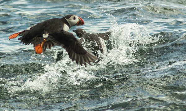 puffin in flight. by wider