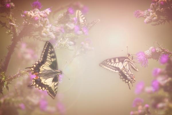 Swallowtails. (Britannicus) by matthewwheeler