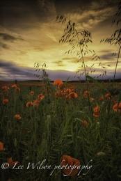 sunset of poppys
