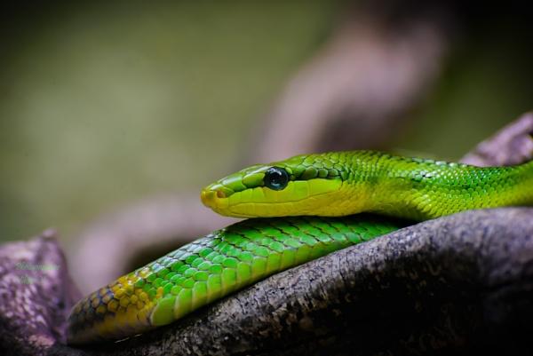 Dendrelaphis punctulatus by Sambomma