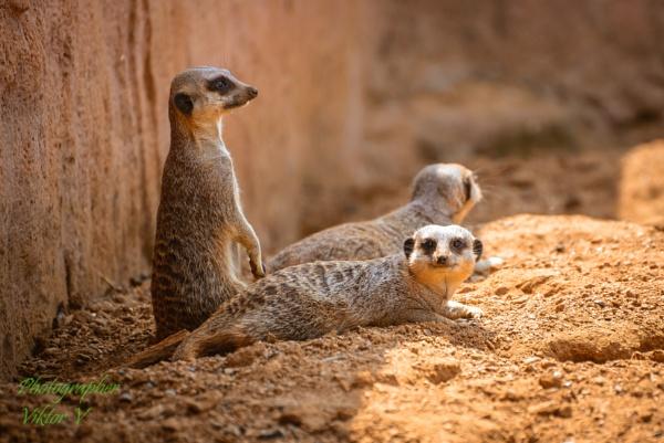 Meerkat on patrol!!! by Sambomma