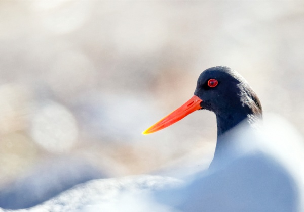 Oystercatcher by hannukon