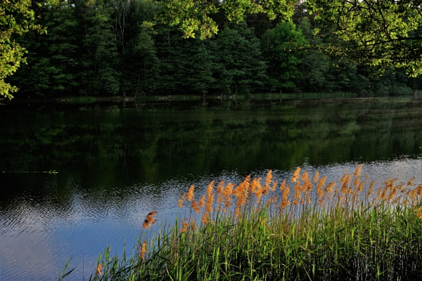 Sunlit Lake Grasses by PentaxBro
