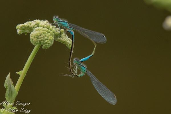 Damsel fly by allan56