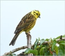 Yellowhammer by MalcolmM