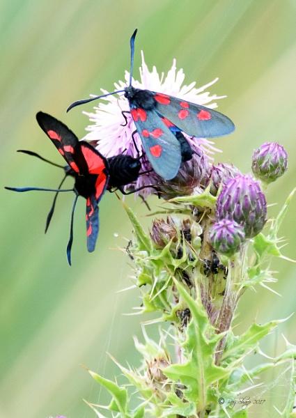 Burnet Moths.