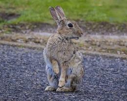 Blackpool Bunny