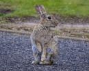 Blackpool Bunny by chensuriashi