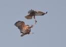 Marsh Harrier Food Handover by NeilSchofield