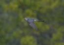 Cuckoo in Flight by NeilSchofield