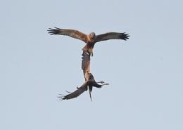Marsh Harrier Clash