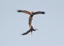 Marsh Harrier Clash by NeilSchofield