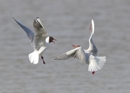 Black Headed Gull Fight