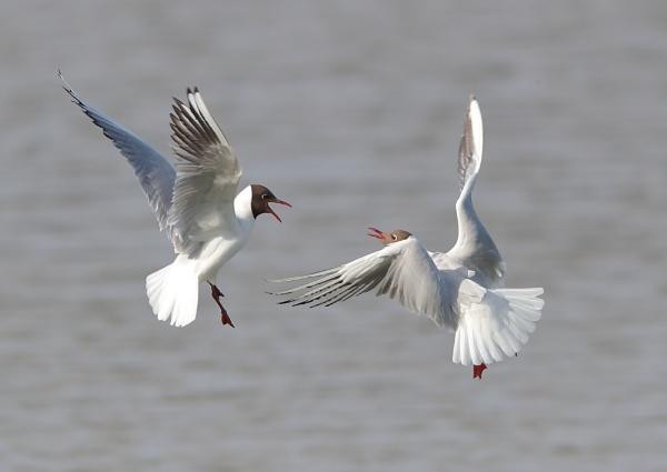 Black Headed Gull Fight by NeilSchofield
