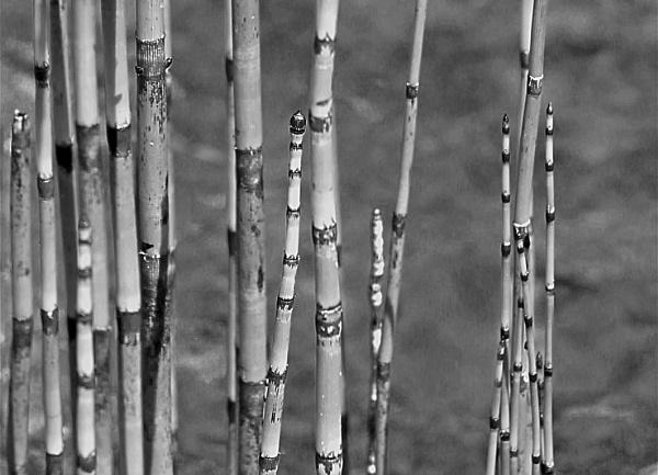 Reeds by helenlinda