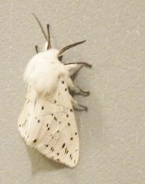 An Ermine Moth I think?