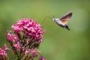 Hummingbird Hawk Moth by SWMahy