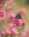 Red Admiral by SWMahy