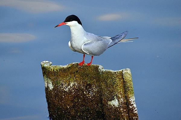 Artic Tern by peterthowe