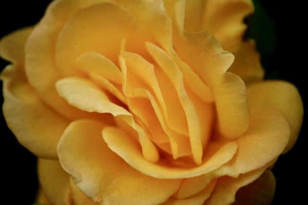 Yellow peril by sanroy99
