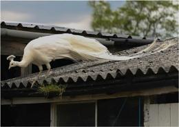 Palecock?