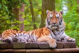 Tiger at Port Lympne
