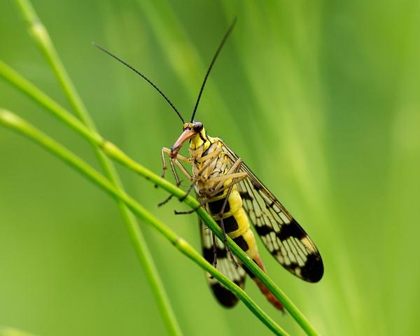 Scorpion Fly by PIXELLENCE
